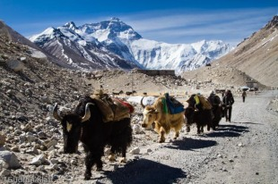 Yaks back from base camp