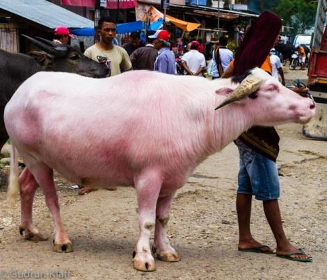Albino Büffel sind hochgeschätzt und sehr teuer – bis zu 8000 US Dollar kann so ein Exemplar kosten – das monatliche Durchschnittseinkommen in Indonesien ist knapp 250 US Dollar, zum Vergleich.
