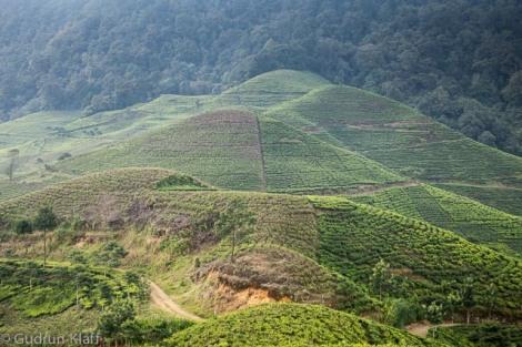 Teeplantage