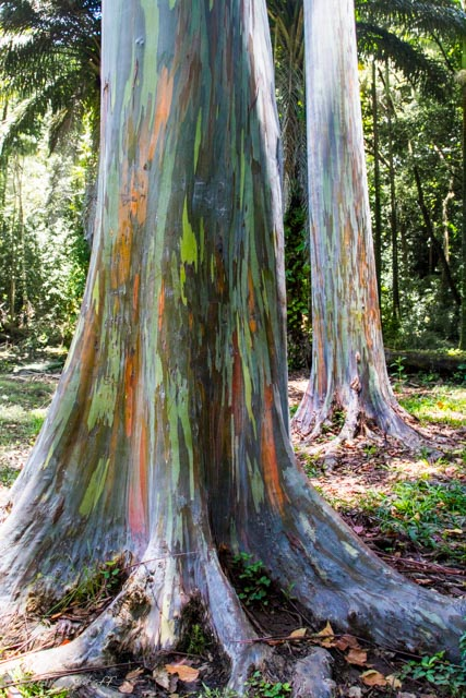 Rainbow Eucalyptus - before Hana, for a change